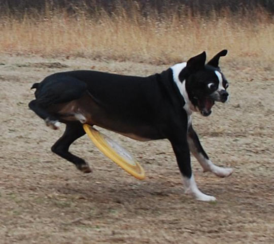 Dog Getting Hit By A Frisbee