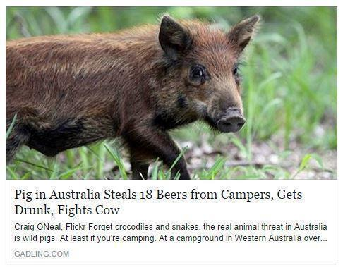 newspaaper-headline-pig-drunk