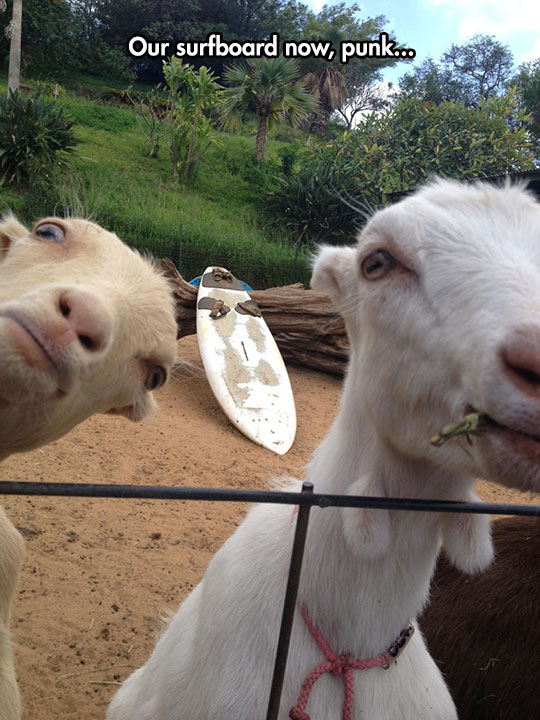 funny-goat-surf-board-camera