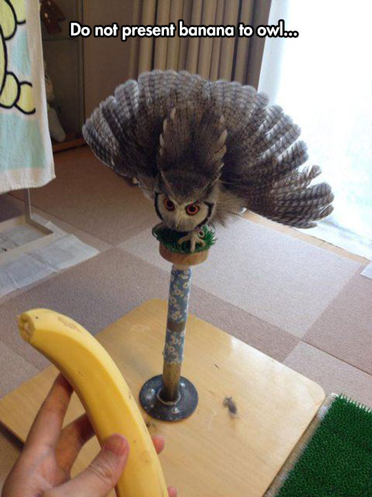 funny-owl-banana-scared-wings-feathers