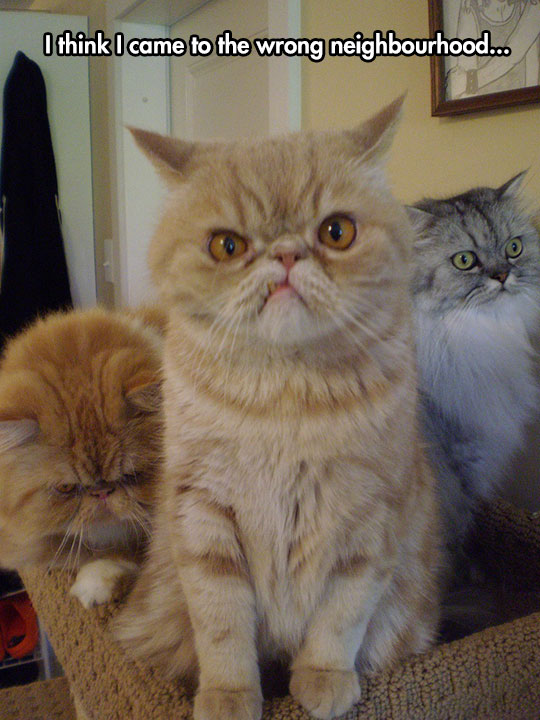 funny-angry-cats-look-frown-face