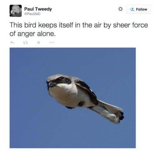 bird-flying-angry