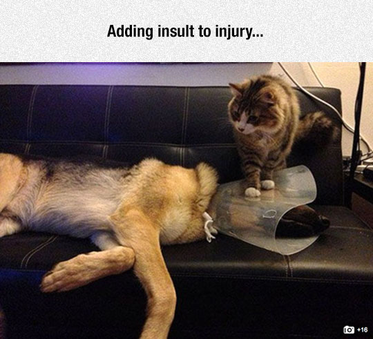 funny-cat-standing-cone-shame-dog
