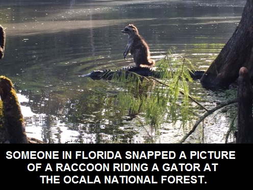 raccoon-gator-haters-gonna-hate