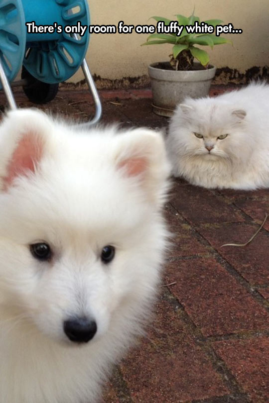 funny-white-dog-mad-cat