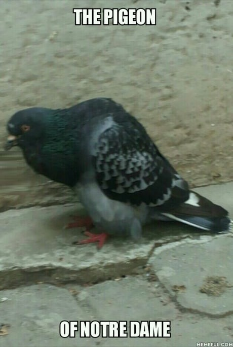 pigeon-notre-dame