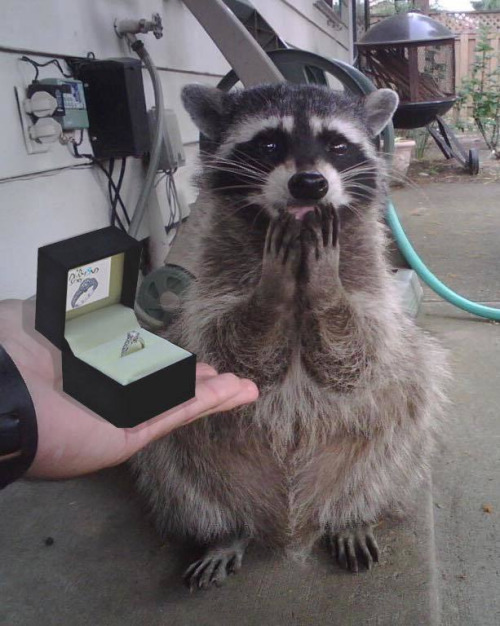 raccoon-engagement-ring