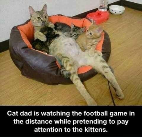 cat-dad-kittens-football