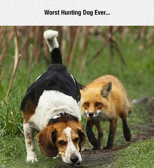 funny-hunting-dog-fox-behind