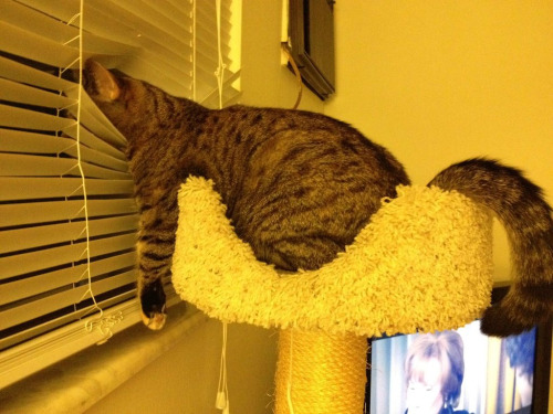 cat-blinds-spy-mode