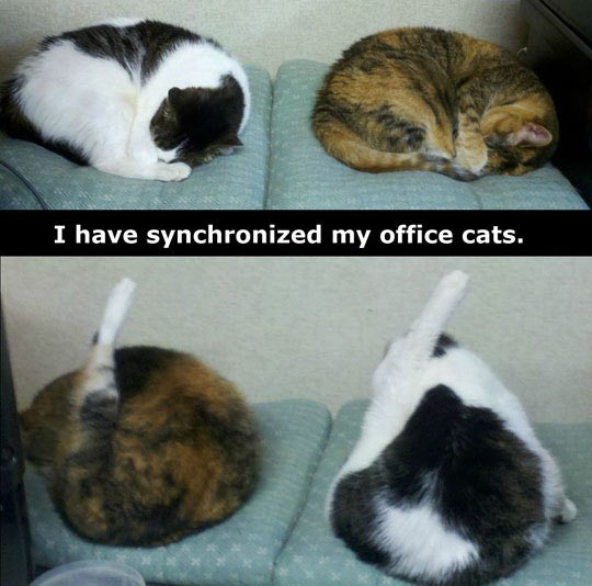 funny-cats-licking-legs-synchronized-office