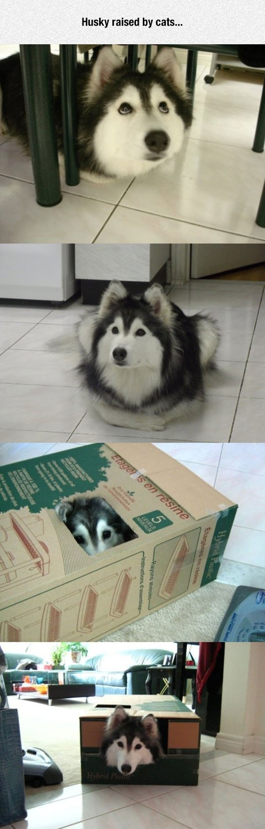 funny-husky-raised-by-cats-dog