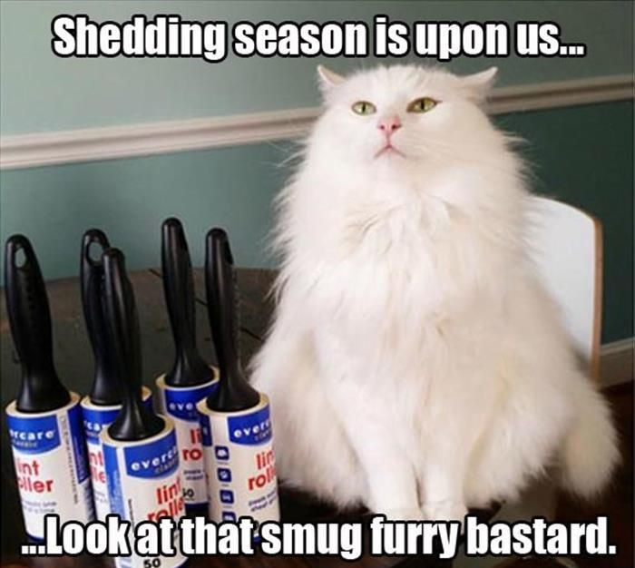 shedding season cat fluffy white he knows your struggle