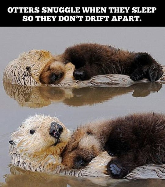 cool-otters-snuggling-river