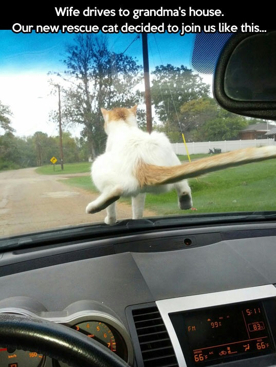 cool-cat-driving-car-windshield