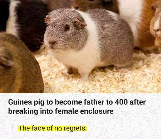 cool-Guinea-pig-father-cage