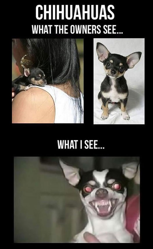 funny-cute-angry-Chihuahua-dog