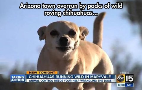 arizona-chihuahua-wild-news