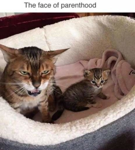 cat-kitten-face-parenthood