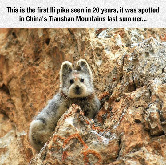 animal-china-mountain-pika