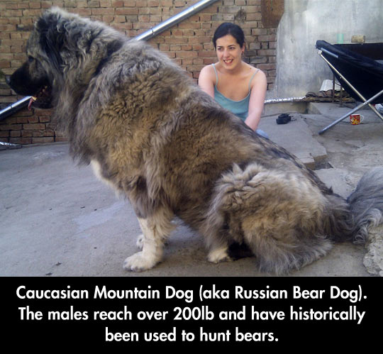 cool-giant-mountain-dog-owner