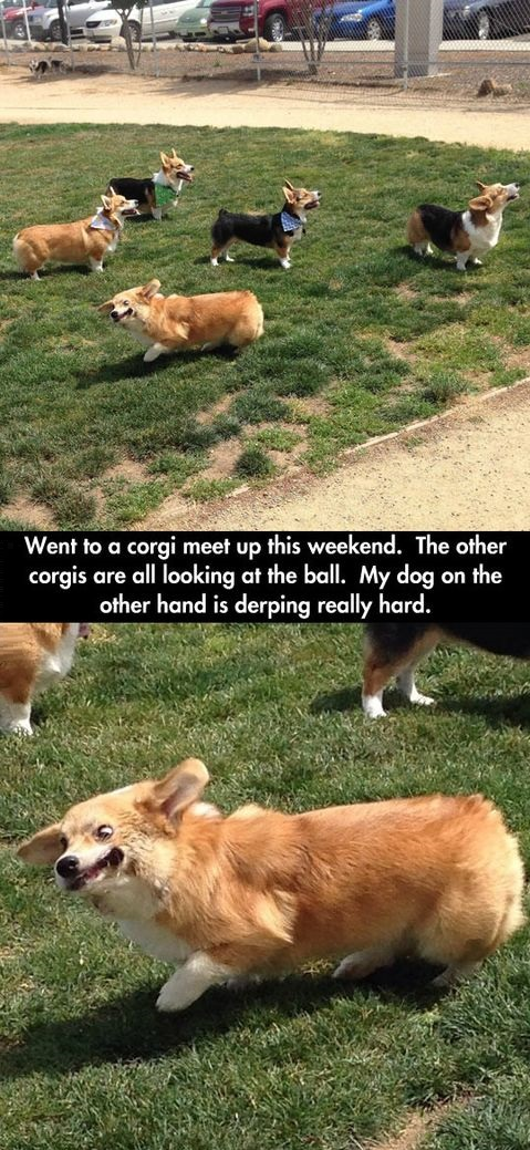 dog-corgi-derp-face