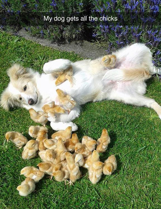 cool-dog-playing-chicks-yard